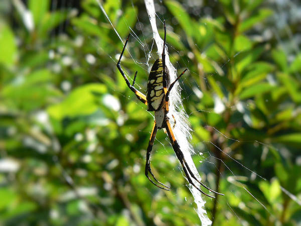 Photograph - Garden Spider On Web by MM Anderson