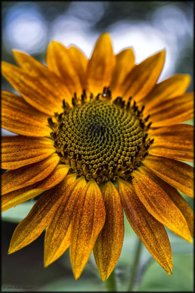 Garden Sunflower Art Print
