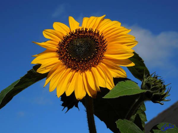 Photograph - Garden Sunflower October by Colette V Hera  Guggenheim