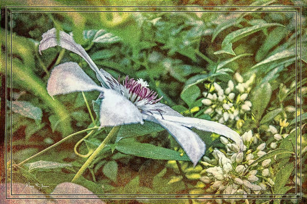 Photograph - Flower - Clematis - Garden Tapestry by Barry Jones