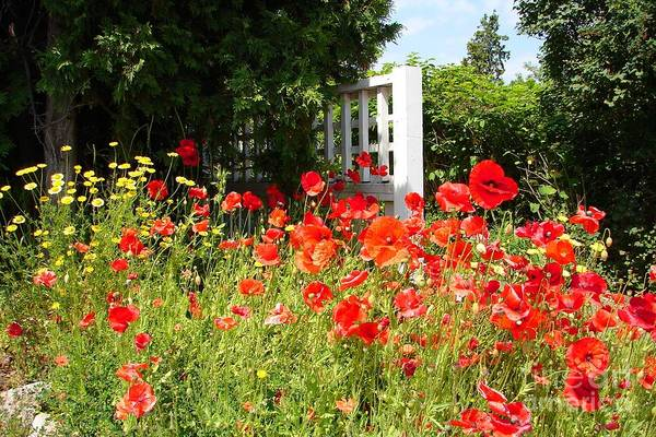 Photograph - Garden With Red Poppies by Cristina Stefan
