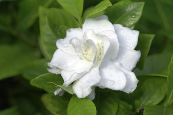 Jasmine Photograph - Gardenia Augusta 'florida' by Brian Gadsby/science Photo Library