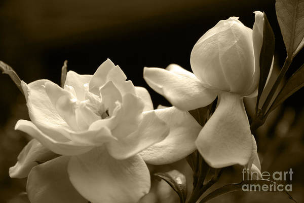 Photograph - Gardenia Blooms In Sepia by Jill Lang