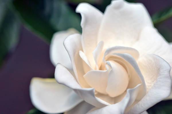 Photograph - Gardenia by Dan McManus