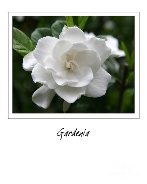 Photograph - Gardenia Gallery Style by Jill Lang