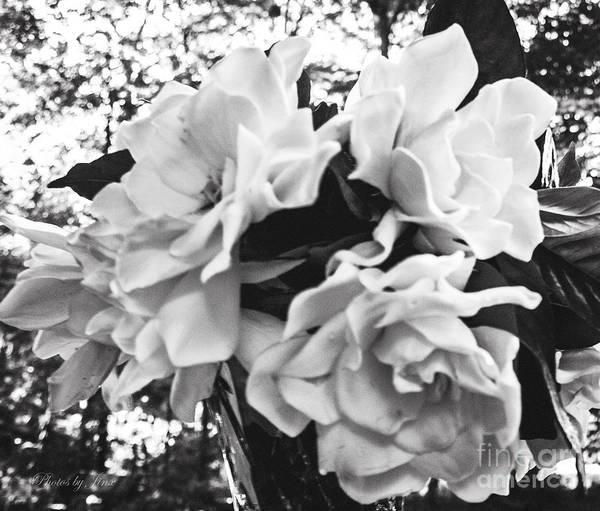 Wall Art - Digital Art - Gardenia In Black And White by Jinx Farmer