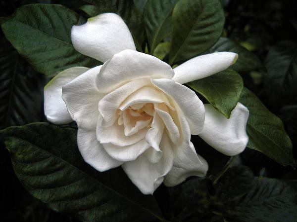Photograph - Gardenia by Jessica Jenney