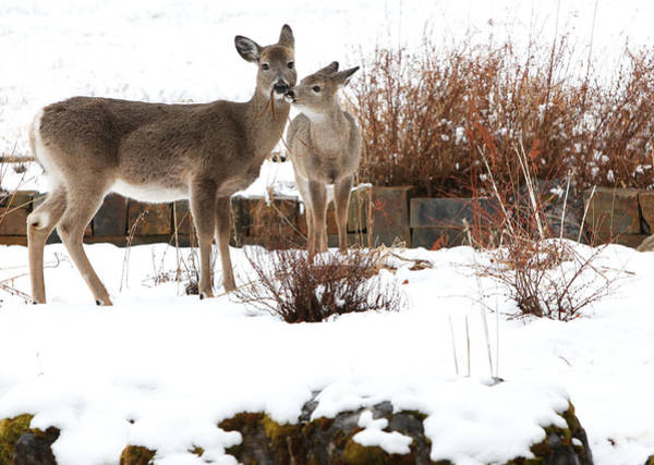 Deer Wall Art - Photograph - Gardening by Aaron Aldrich
