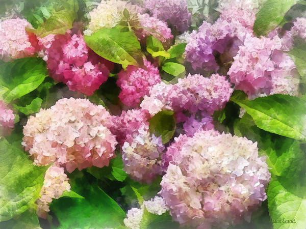 Photograph - Gardens - Pink And Lavender Hydrangea by Susan Savad