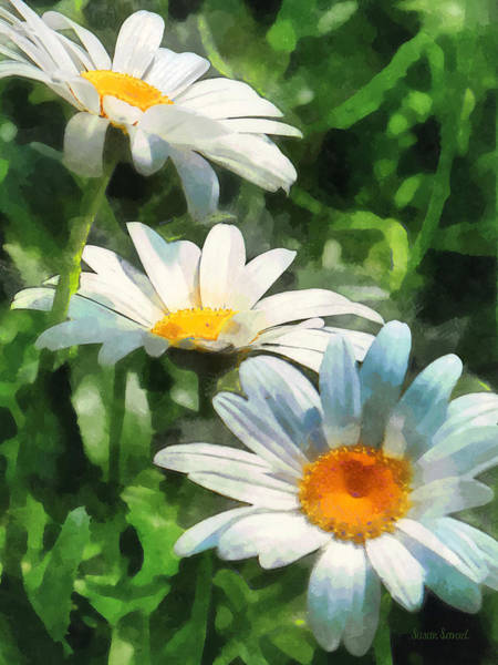 Photograph - Gardens - Three White Daisies by Susan Savad