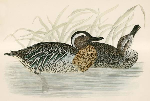 Wildfowl Photograph - Garganey Teal by Beverley R. Morris
