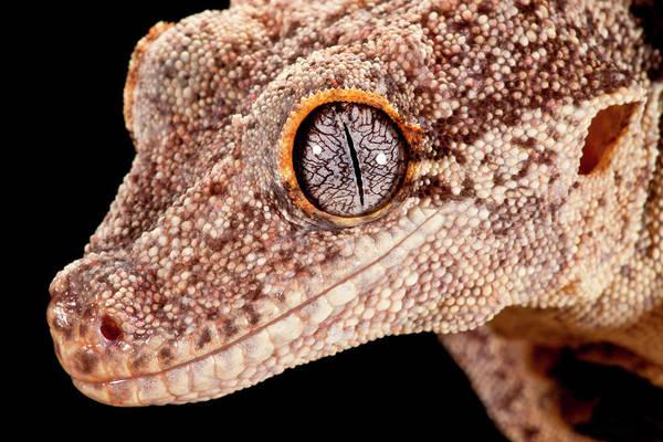 Gecko Wall Art - Photograph - Gargoyle Gecko, Rhacodactylus by David Northcott