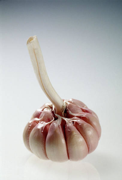 Peeling Photograph - Garlic Bulb by Steve Percival/science Photo Library