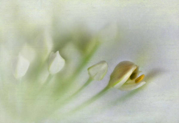 Chive Photograph - Garlic Chive Blossom by David and Carol Kelly