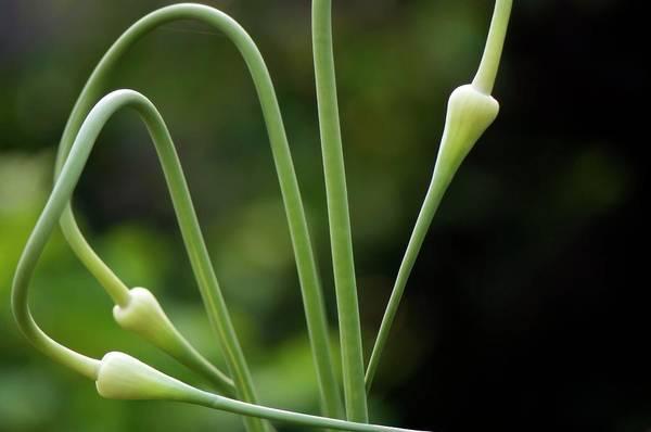 Unopened Wall Art - Photograph - Garlic Flower Buds (allium Sativum) by Maria Mosolova/science Photo Library