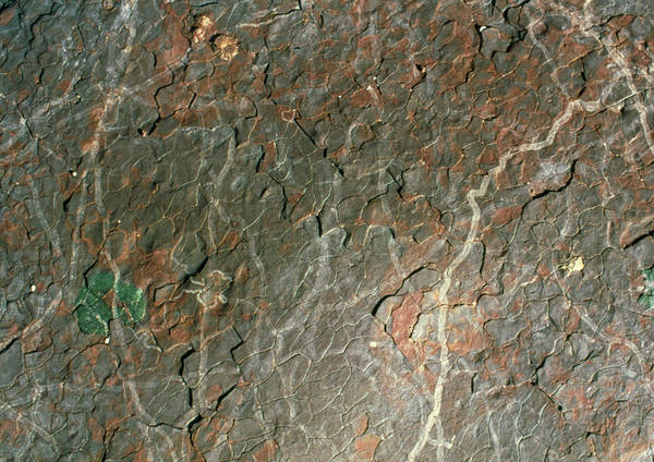 Gastropod Wall Art - Photograph - Gastropod Grazing Tracks by Sinclair Stammers/science Photo Library