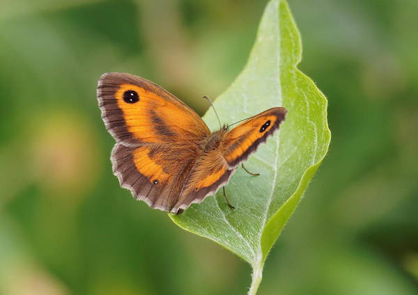 Photograph - Gatekeeper Butterfly-02 by Paul Gulliver