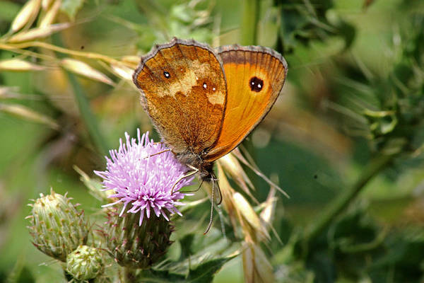 Photograph - Gatekeeper Butterfly by Tony Murtagh