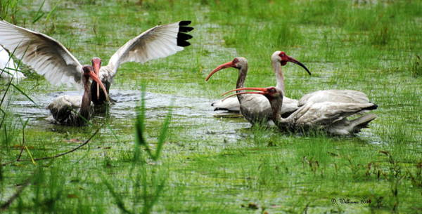 Photograph - Gathering Of Ibis by Dan Williams