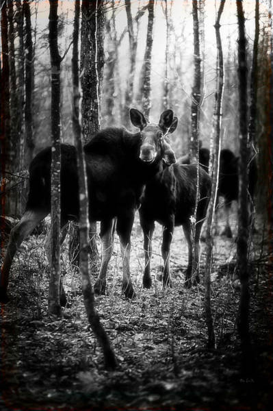 Photograph - Gathering Of Moose by Bob Orsillo