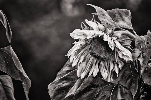 Monotone Photograph - Gathering Sun by Susan Capuano