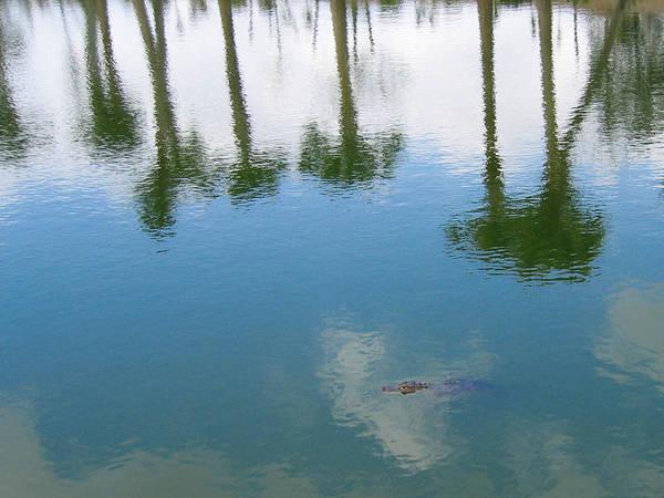 Photograph - Gator Among Reflecting Trees  by Karen Zuk Rosenblatt