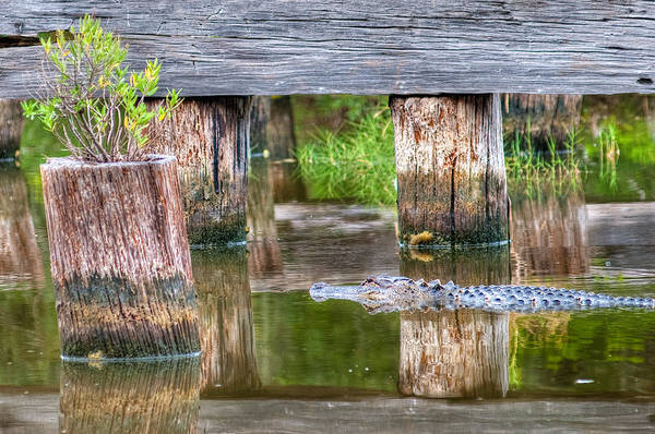 Photograph - Gator At The Old Trestle by Scott Hansen