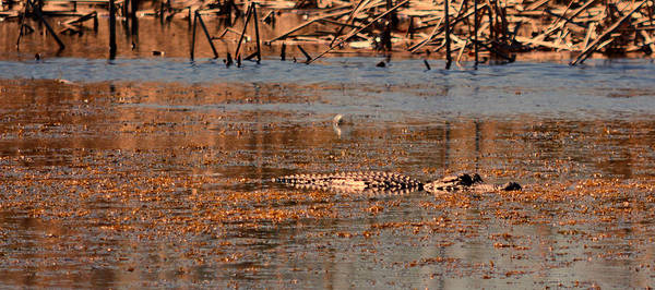 Photograph - Gator Bait by Jody Lane