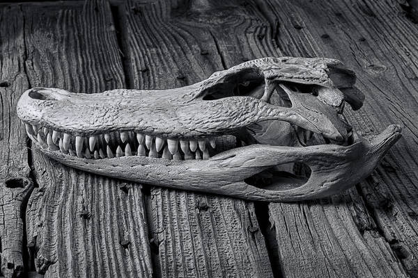 Gator Wall Art - Photograph - Gator Black And White by Garry Gay