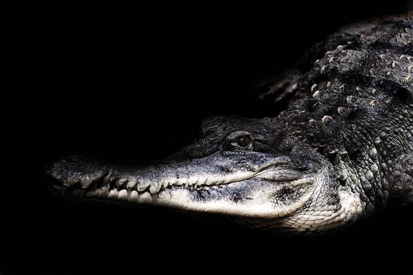 Gator Wall Art - Photograph - Gator by Martin Newman