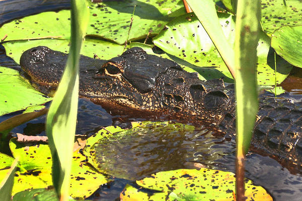 Photograph - Gator by Peter DeFina
