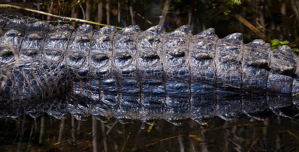 Photograph - Gator Reflection by Adam Pender