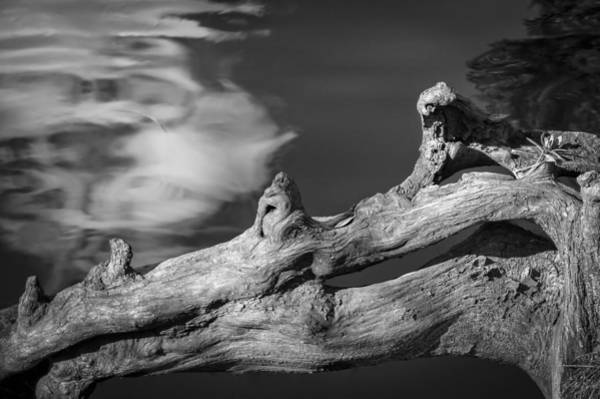 Photograph - Gator Root - Bw by Carolyn Marshall
