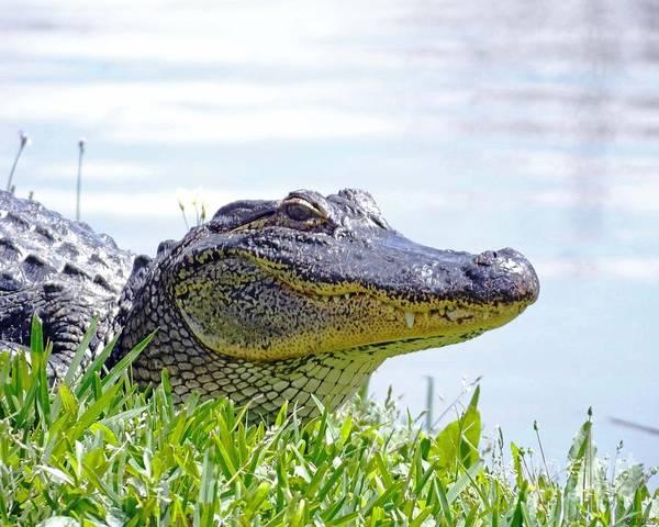 Photograph - Gator Smile by Lizi Beard-Ward