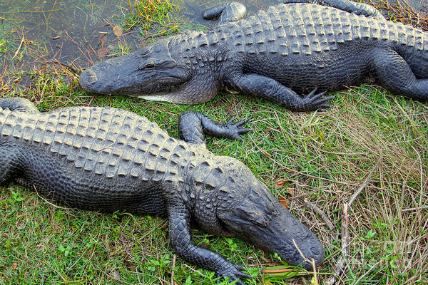 Gator Wall Art - Photograph - Gators by Carey Chen