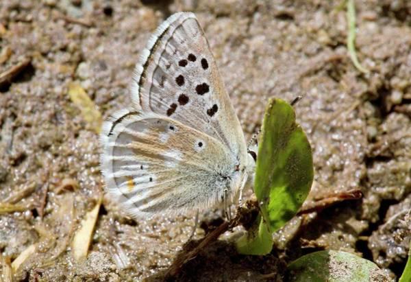 Gavarnie Blue Butterfly Mud-puddling Art Print