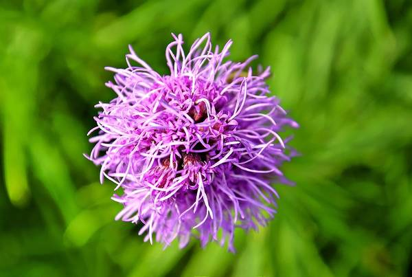 Liatris Spicata Photograph - Gayfeather Flower On Natural Blurry Green Background by Viejo