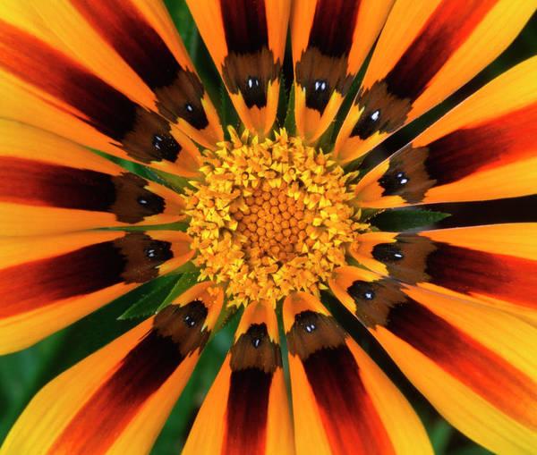 Gazania Photograph - Gazania Flower by Nigel Downer