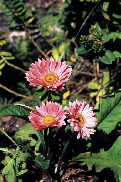 Gazania Photograph - Gazania Flowers by Derek Shimmin/science Photo Library
