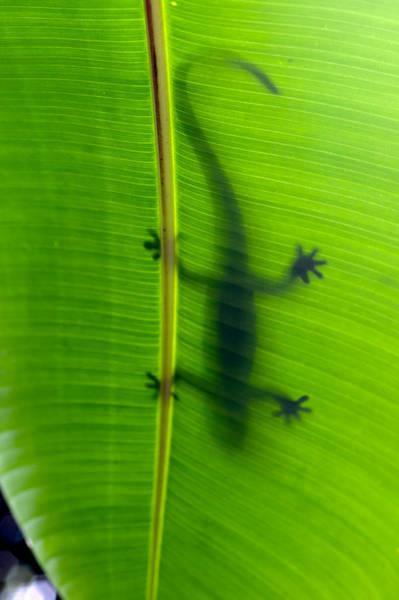 Photograph - Gecko Silhouette by Dan McManus