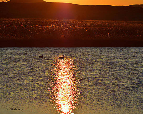 Photograph - Geese A L'orange by Fiskr Larsen
