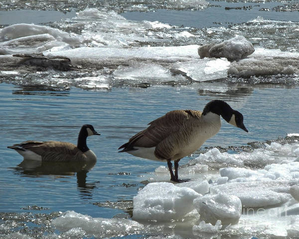 Photograph - Geese And Cold Feet by Kristen Fox