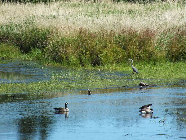 Aroostook County Photograph - Geese And Heron by Gene Cyr