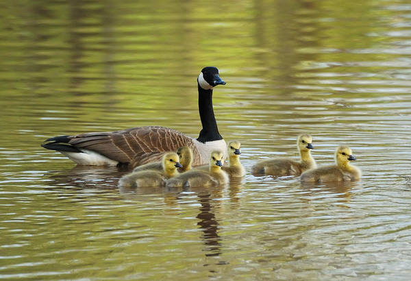Photograph - Geese Family by Songquan Deng