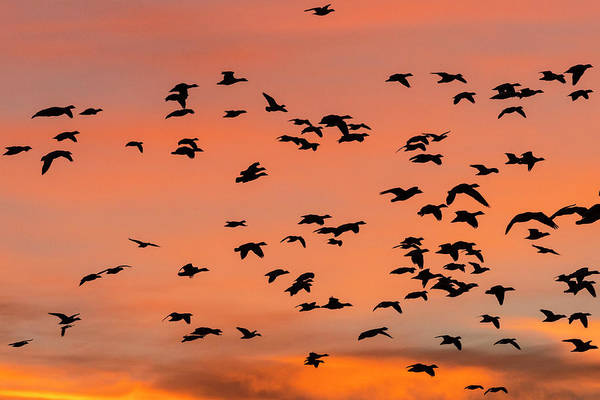 Flight Deck Photograph - Geese Flying Before Dawn by Maresa Pryor