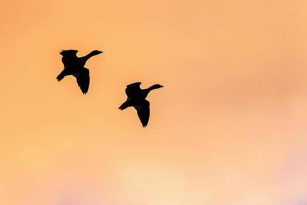 Bosque Del Apache Photograph - Geese Flying, Bosque Del Apache by Maresa Pryor