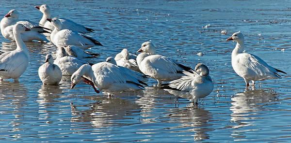 Photograph - Geese Gathering by Britt Runyon