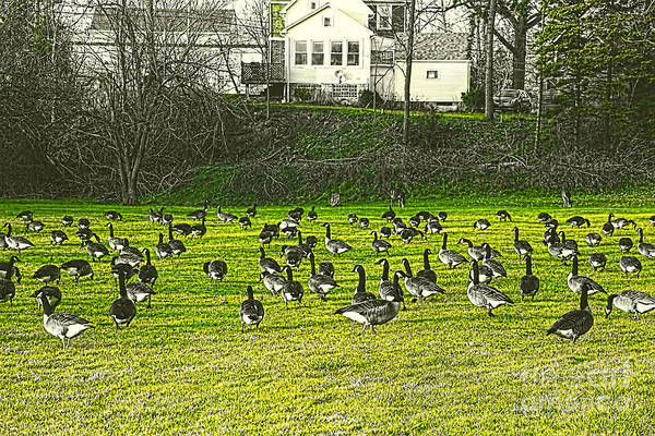 Photograph - Geese In A Green Field by Jim Lepard