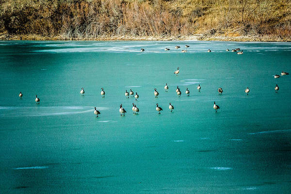 Photograph - Geese On Ice by Karen Saunders