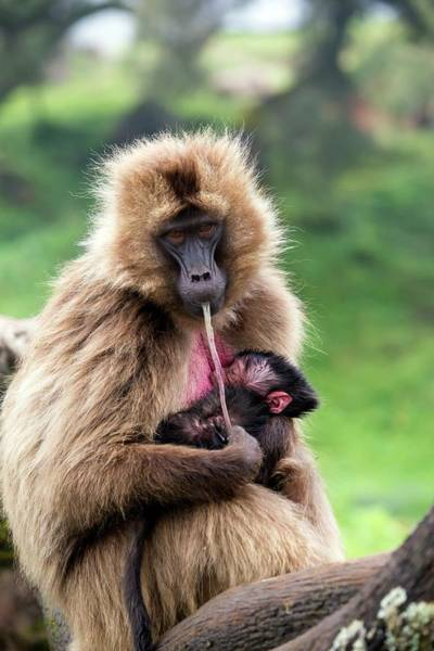 Old World Monkey Photograph - Gelada Baboon Eating Her Placenta by Peter J. Raymond